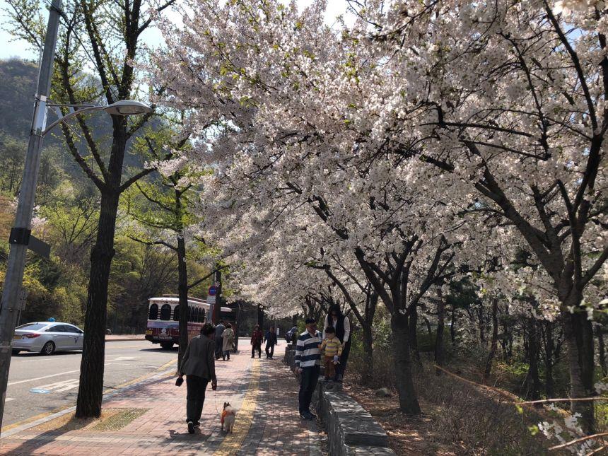 4.11경진명동기자회견마치고 남산 벗꽃.jpg